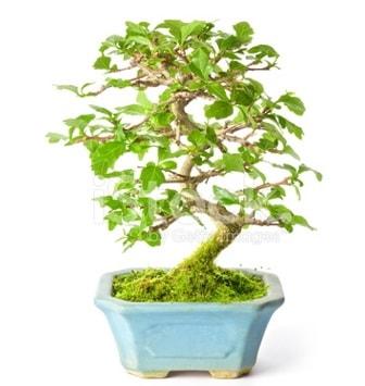 S zerkova bonsai kısa süreliğine  Çanakkale internetten çiçek satışı