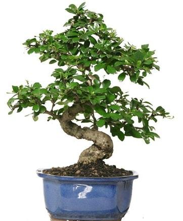 21 ile 25 cm arası özel S bonsai japon ağacı  Çanakkale online çiçek gönderme sipariş