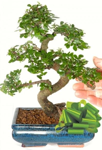 Yaklaşık 25 cm boyutlarında S bonsai  Çanakkale hediye sevgilime hediye çiçek