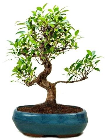 25 cm ile 30 cm aralığında Ficus S bonsai  Çanakkale çiçekçiler