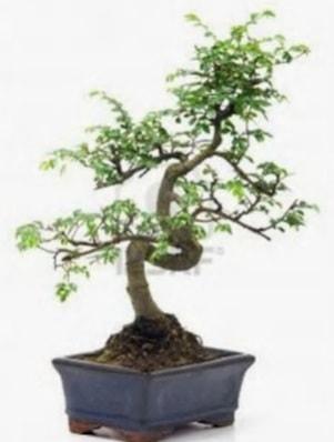S gövde bonsai minyatür ağaç japon ağacı  Çanakkale cicek , cicekci