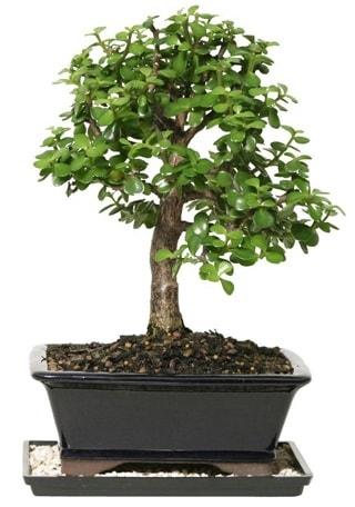 15 cm civarı Zerkova bonsai bitkisi  Çanakkale hediye sevgilime hediye çiçek
