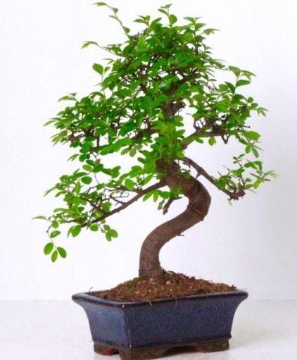 S gövdeli bonsai minyatür ağaç japon ağacı  Çanakkale çiçekçiler