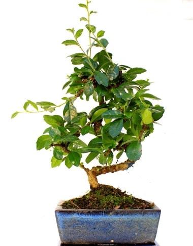 S gövdeli carmina bonsai ağacı  Çanakkale internetten çiçek siparişi  Minyatür ağaç