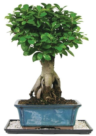 Bonsai Ginsing Grafted Ficus Bonsai  Çanakkale internetten çiçek siparişi