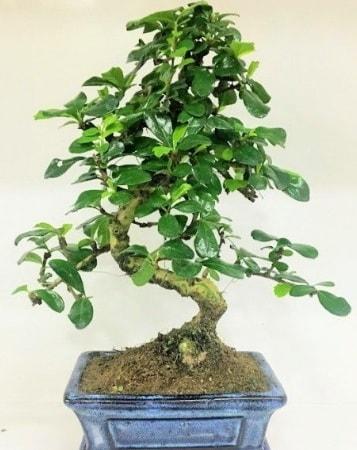 Zelkova S gövdeli Minyatür ağaç Bonzai  Çanakkale çiçek siparişi vermek