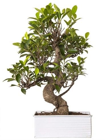 Exotic Green S Gövde 6 Year Ficus Bonsai  Çanakkale çiçekçiler