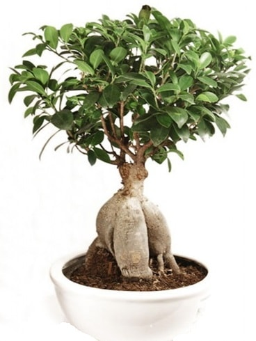 Ginseng bonsai japon ağacı ficus ginseng  Çanakkale internetten çiçek satışı